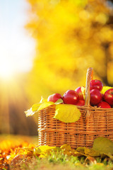 Organic apples in a basket in sunny autumn.