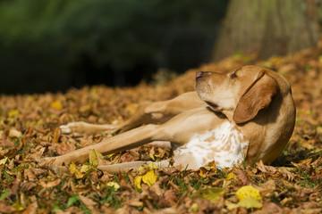 Hund im Herbstlaub liegend