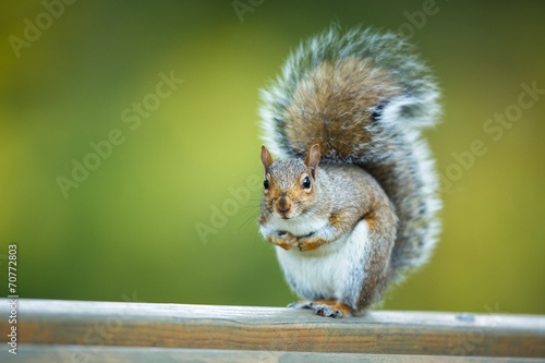 Spoed canvasdoek 2cm dik Eekhoorn Eastern Grey Squirrel (Sciurus carolinensis)