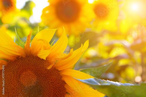 Fotobehang Zonnebloemen sunflower