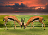two male thomson's gazelle fighting by horn in green grass field