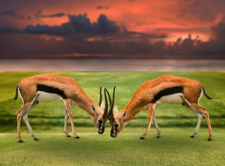 two male thomson's gazelle fighting by horn in green grass field