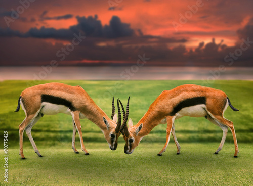 In de dag Antilope two male thomson's gazelle fighting by horn in green grass field