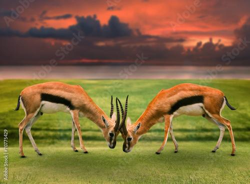 Staande foto Antilope two male thomson's gazelle fighting by horn in green grass field