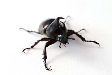 black horn beetle