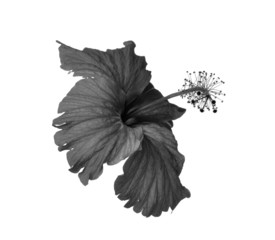 black and white flowers isolated on white background