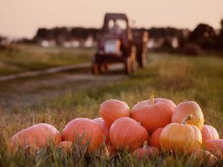 pumpkins and tractor in field