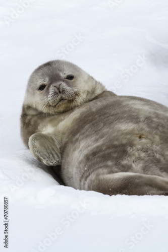 Spoed canvasdoek 2cm dik Antarctica Weddell seal pup lying in the snow on his back and looking