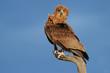 Постер, плакат: Bateleur eagle Kalahari