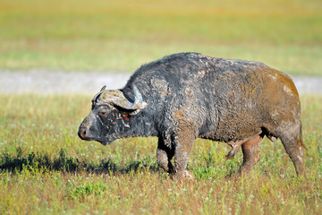 Mud covered African buffalo bull