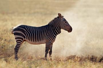 Cape mountain Zebra in dust