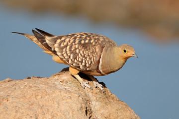 Namaqua sandgrouse, Kalahari desert