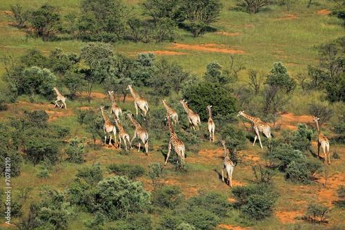 Staande foto Giraffe Aerial view of a herd of giraffes
