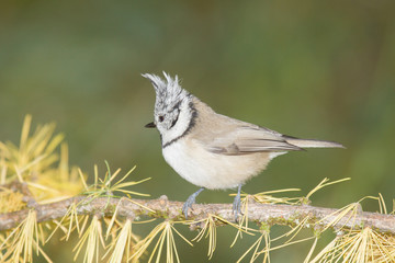 beautiful specimen of crested tit recovery in its natural enviro
