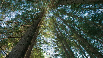 Pines in the forest seen from ground up