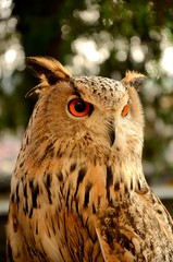 Owl with beautiful eyes