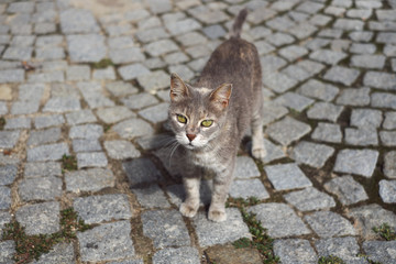 Istanbul white and grey cat