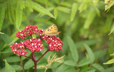 Yellow butterfly perched on a flower