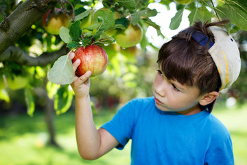 Little boy in cap picking apples