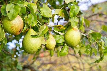 Birnenbaum auf der schwäbischen Alb