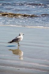 Seagull in Water on Beach with Reflection