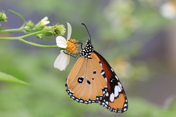 Common Tiger butterfly and flower
