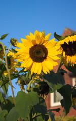 schöner Garten-Sonnenblume-Holstein-