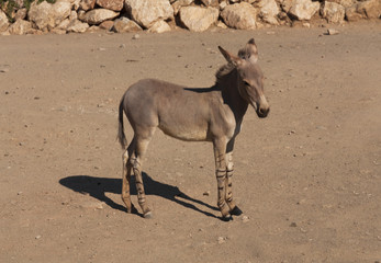 Full body of zonkey between a donkey and a zebra, photo