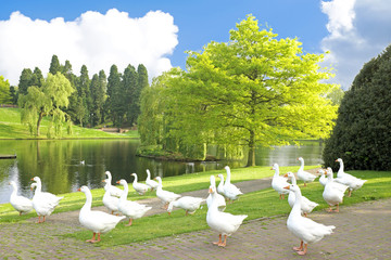 Geese in the countryside from the Netherlands