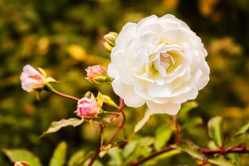 White rose at sunset close-up