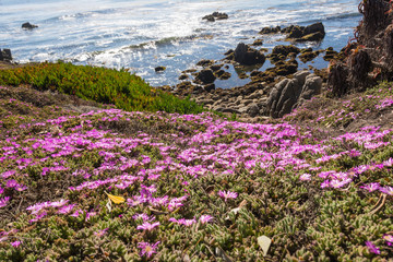 The flowers along the coast of Monterey, California