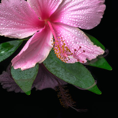 still life of pink hibiscus flower on green leaf with drops in w
