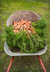 Harvesting campaign. Wheelbarrow with carrots