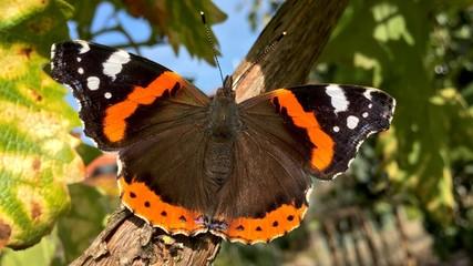 Schmetterling - Admiral -