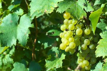 Grape for harvest