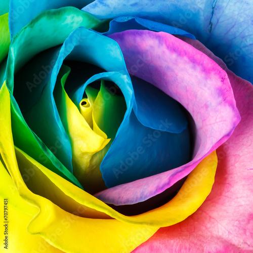 Fototapeta Rainbow rose