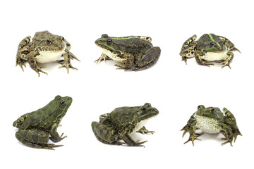 marsh frog on white background