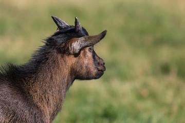 profil de chèvre