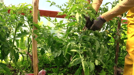 senior gardener woman care tomatoes plants in greenhouse