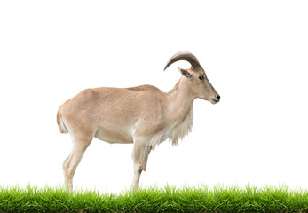 female Barbary sheep with green grass isolated