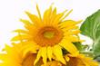 canvas print picture - fleurs  de tournesol