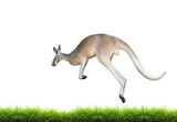 Fototapety red kangaroo jump on green grass isolated