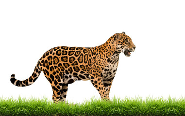 jaguar ( panthera onca ) with green grass isolated