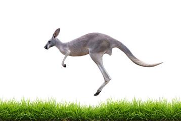 grey kangaroo jump on green grass isolated