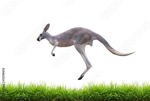 Foto op Plexiglas Kangoeroe grey kangaroo jump on green grass isolated