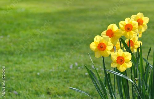 Fotobehang Narcis narcisses sur fond d'herbe