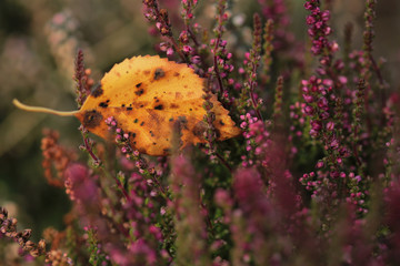 Yellow autumn leaf with Plant of flowering heather