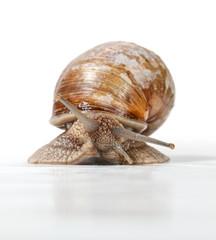 Garden snail front view