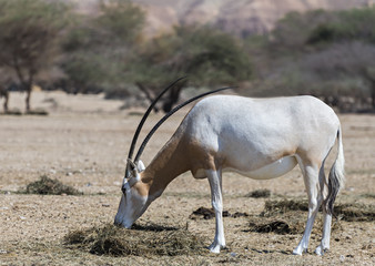 Adult sahara scimitar Oryx (Oryx leucoryx)