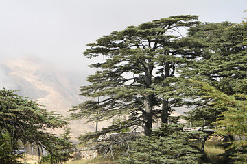 Cedar Forest of Lebanon